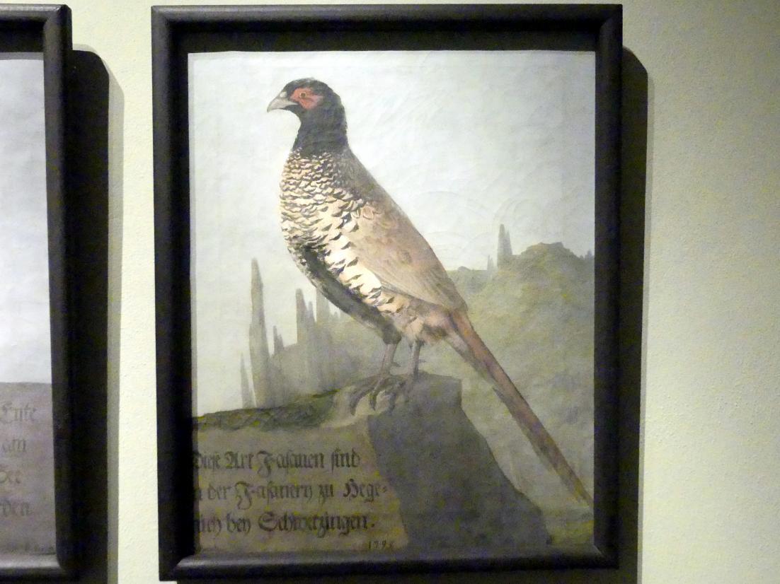 Daniel Busch: Isabellfasan (Phasianus colchicus mut. isabellinus), 1795